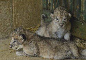 Vzácná lvíčata v Liberci zemřela hlady. Zoo odráží kritiku za selhání v péči
