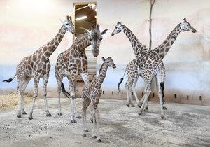 Zoo Praha má další přírůstek - mládě žirafy.