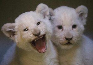 Velký tahák v zoo Hodonín: Smetanově bílé lví rošťandy už okukují fanoušci