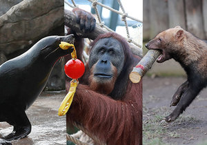 Tygři s míčem, zubři s kartáčem! Sezona v Zoo Praha bude zábavnější pro zvířata i návštěvníky
