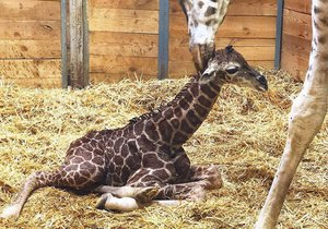 VIDEO: První krůčky narozeného žirafátka! V pražské zoo se radují, Eliška porodila mláďátko