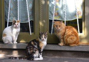 Toulavé kočky se často sdružují ve větších smečkách, především na lovu