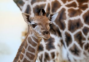 Žirafí sameček se narodil Elišce 13. února 2019. V pondělí 25. února se připojil ke stádu.