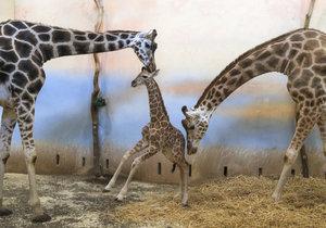Žirafí sameček se přidal ke zbytku stáda v Zoo Praha.