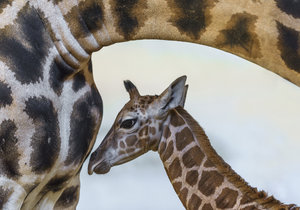 """Po měsíci se v Zoo Praha chystají další žirafí křtiny. Jméno dostane bratr """"Modelky"""""""