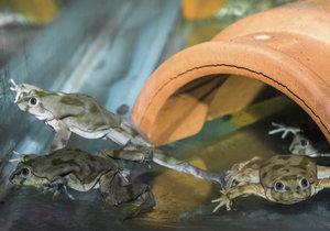 Do Prahy dorazily vodnice posvátné. Tyto žáby přirozeně žijí u jihoamerického jezera Titicaca, kde je ohrožuje znečištění.