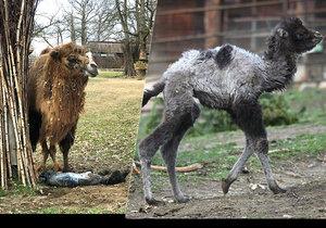 Samice velblouda Majda si lehla ve výběhu ke stromu a začala rodit. Čerstvě narozená samička za chvíli už sama běhala po výběhu.