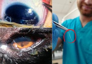 oční parazit