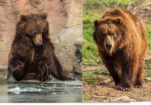 Kamčatský medvěd Bruno se z Brna stěhuje do Děčína.
