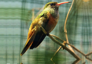 Za kolibříky do zoo: Vzácné ptáčky uvidíte jen v Plzni, bydlí tu s nosorožci