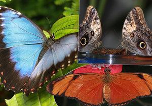 Výstavu exotických motýlů si ve skleníku Fata Morgana můžete prohlédnout od dubna do 26. května.