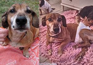 Nemohoucího psa někdo odhodil v Horažďovicích: Tyrana hledá spolek, který zvíře zachránil