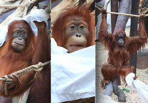 Orangutani v Praha Zoo pořádně řádili.