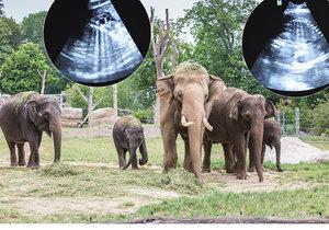 V pražské zoo mají hned dvojitou radost. Mají se tu příští květen nebo červen narodit hned dva sloní rošťáci.