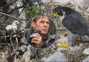 Ornitolog René Bedan v akci. Doslova si zamiloval sokola stěhovavého, který se po 50 letech vrátil do Moravského krasu.