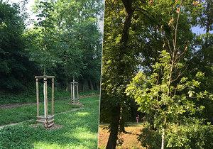 Také kvůli suchu v pražské Stromovce odumírají mladé stromy, velkou zátěž a stres nezvládají.