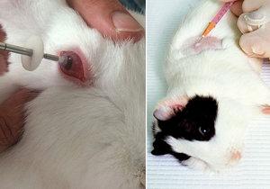 Králík krvácející z očí. Pokusy na zvířatech kvůli kosmetice jsou problém i po zákazu