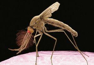Hygienici varují: Nakažení komáři postupují jižní Moravou! Pomáháme jim šířit smrtící virus