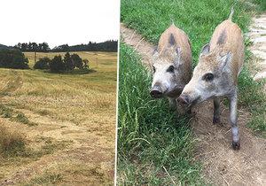 Lidé popsali popravu selátek (ilustrační foto) na Plzeňsku: Zmasakroval je na třikrát!