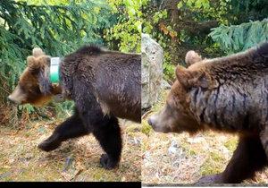 Fotopast zachytila, jak medvědici Emu (s obojkem) následuje statný samec.