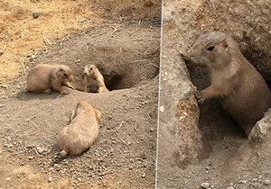 Psouni prérioví v Zoo Praha mají nový výběh.