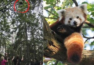 Panda je zpět. Uprchlíka objevil na stromě pejskař, zvíře je v pořádku.