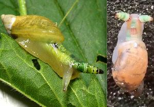 Parazit jménem motolice podivná dokáže ze šneků vytvářet zombie