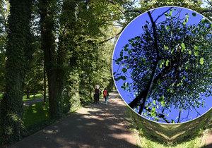Devatenáct vzrostlých stromů půjde k zemi v Sadech Bedřicha Smetany ve Frýdku-Místku. Zahubilo je přemnožené jmelí.