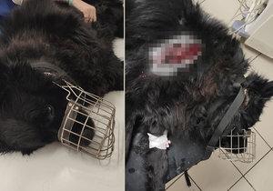 Pobodaný pejsek ležel v kaluži krve déle jak hodinu: Ublížil mu majitel, myslí si policie!