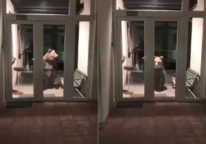 Medvěd před služebnou na Slovensku vyděsil policisty.