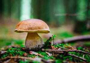 Hřib smrkový má nejčastěji světle hnědý klobouk, na okrajích je barva světlejší.