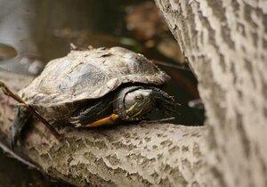 Nechtěné želvy končí v rybnících: Nemají přirozené nepřátele, zabíjí je ale děti!