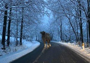 Šéf libereckých silničářů vyfotil na silnici velblouda. Unikl z výběhu poté, co sníh zkratoval ohradník