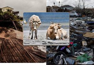 3 krávy, které odnesl hurikán Dorian, přežily. Žijí si v poklidu na březích Severní Karolíny.