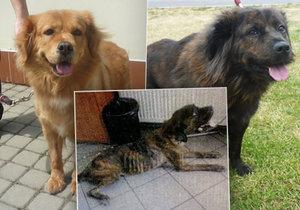 Otřesné týrání: Osm psů v Dubči vyhladovělo na kost! Propadli státu, teď čekají na nové páníčky