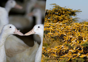 Čína vyšle do boje proti kobylkám kachny. Jsou účinnější než pesticidy