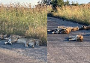 Lvi si užívají park bez lidí. Koronavirus zastavil i příval turistů