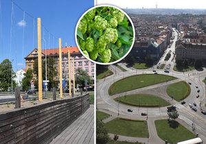 Klimatická nouze v Praze 6: Radnice proti vedru bojuje chmelem. Na Kulaťáku z něj bude celá stěna