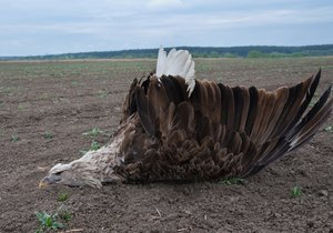 Tragédie na jižní Moravě: Rodinu mořských orlů otrávili karbofuranem! Byl to unikát, pláčí ornitologové
