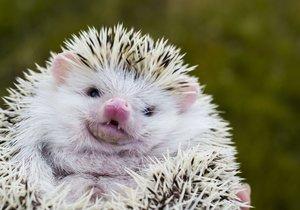 Africký trpasličí ježek je stále oblíbenějším domácím mazlíčkem.