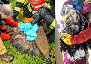 Hasiči na jihu Čech zachraňovali orla mořského: Zabloudil k nám?