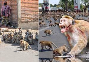 Z dříve veselých  a přítulných makaků se stala agresivní a nebezpečné zvířata.