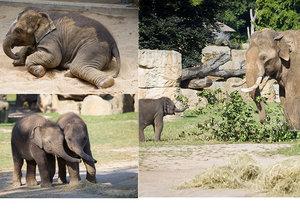 Sloní samičky Lakuna a Amalee ze Zoo Praha se mají čile k světu.