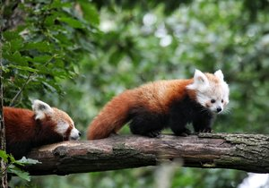 Pandí chlapeček dostal krásné jméno Siddhi, vybrali jej návštěvníci brněnské zoo
