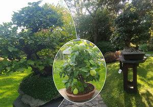 Výstava bonsají v pražské botanické zahradě v Troji se netradičně místo na jaře uskutečňuje na podzim.