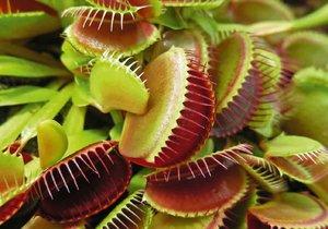 Masožravka mucholapka podivná je vhodná pro pěstitele začátečníky.