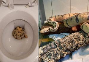 Pražští strážníci v sobotu 21. listopadu na svém facebooku informovali, že odchytili v žižkovském hotelu krajtu královskou ze záchoda.