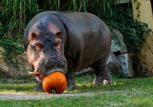 Zavřenou zoo v Ostravě lidé zasypali dýněmi: Mlaskání hrochů je slyšet až k bráně