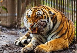 Ženě v Chvojenci tygr ukousl ruku až po loket: Šokující závěr vyšetřování!