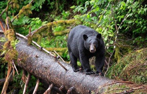 Na procházce dostal infarkt: Celé jeho tělo sežral medvěd!